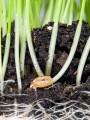 Pamant Organic pentru cresterea ierbii pentru suc